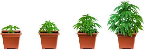wietplant-groei-verloop-groeiperiode